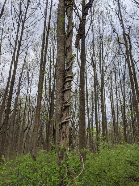 Vines entwining a tree
