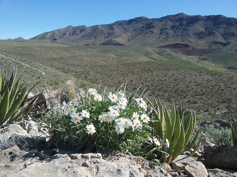 Blackfoot daisies and view of the Franklin Mountains