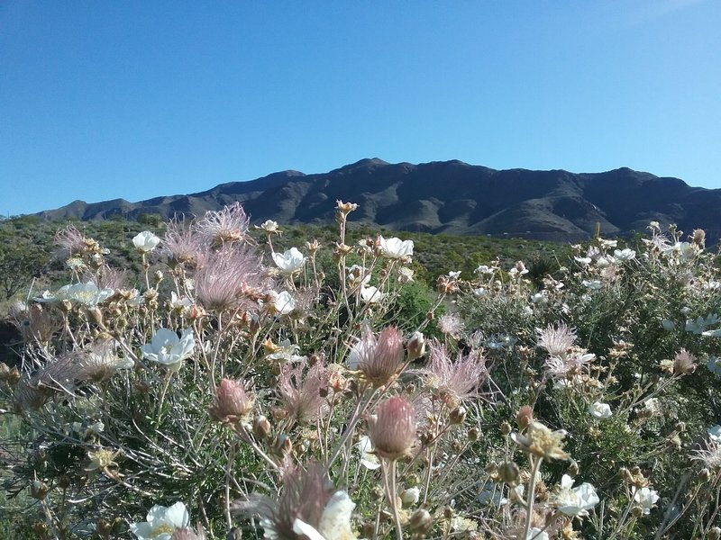 Apache plumes and Franklin Mountains