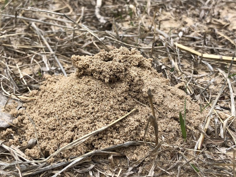 There's a whole lot of really cool ant hills in all this sand.