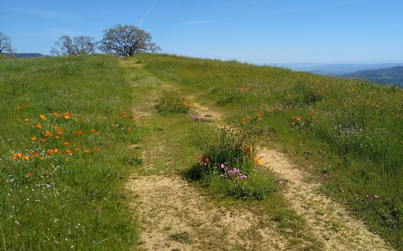 Spring wildflowers and green grass hills high on Washburn Trail.  The blue Santa Cruz Mountains to the southwest, can be seen in the distance on the right.