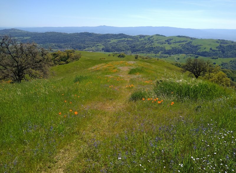 The blue Santa Cruz Mountains are in the far distance.  Closer, and separated from the Santa Cruz Mountains by Santa Clara Valley, is the ridge of the west side of the broad San Felipe Creek Valley.  Close up is the Tamien Trail ridge with spring flowers.