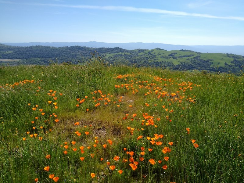 Orange California poppies explode in color on the high grassy ridge of Tamien Trail.  In the distance is the ridge forming the west side of the San Felipe Creek Valley, and in the far distance are the blue  Santa Cruz Mountains.