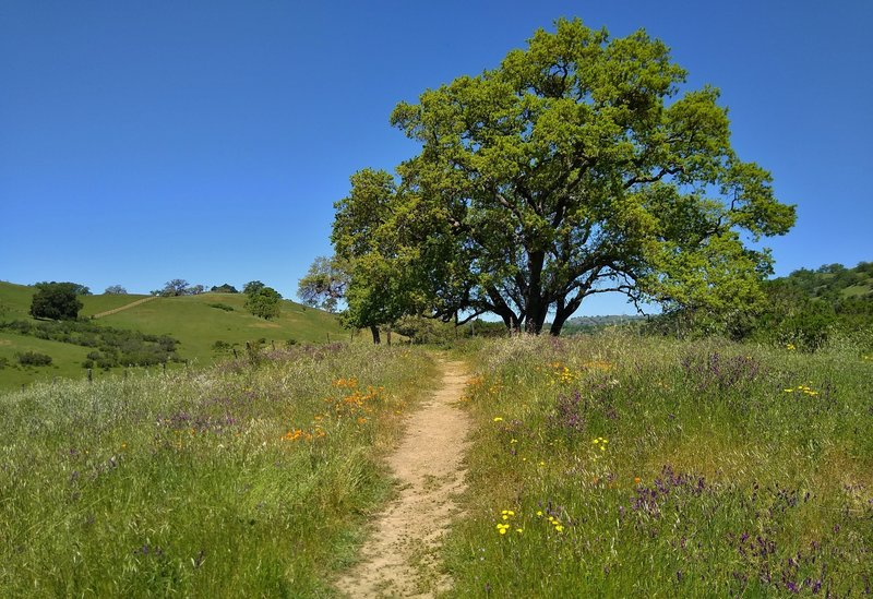 The spring wildflowers and tree studded grass hills of Joseph D. Grant County Park along Bernal Trail.