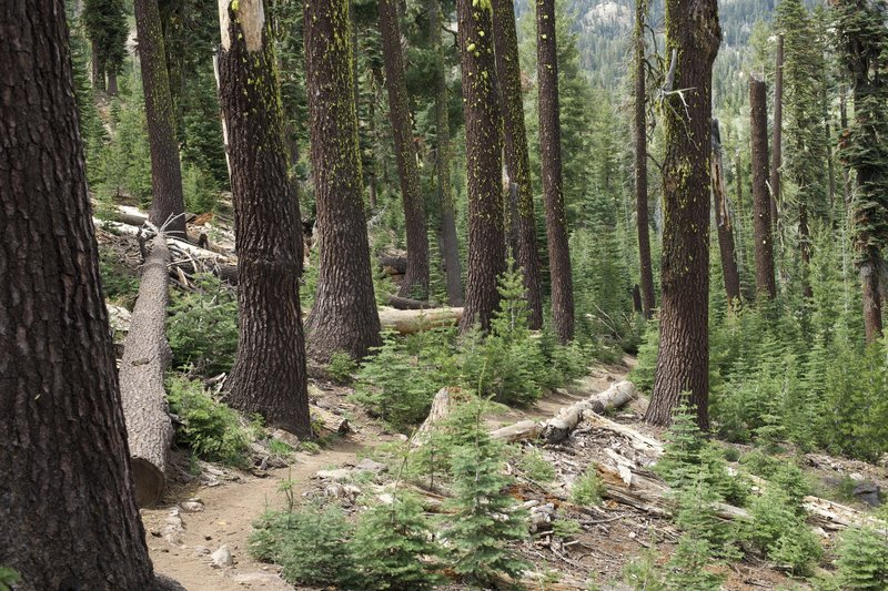 The trail drops steeply from the parking lots through a forest of fir and pine trees.