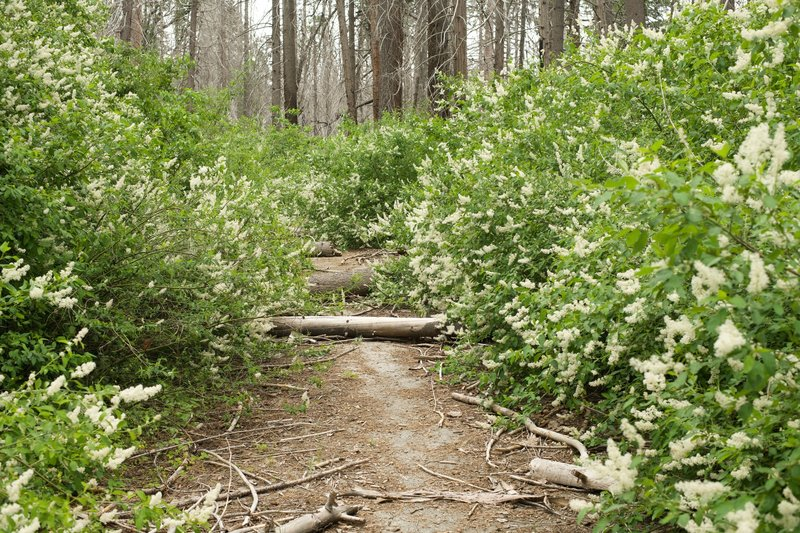 Deer Brush encroaches on the trail, so thick that in some places you have to push through it or bushwhack.  You can also see how there are downed trees and limbs, so watch where you step!