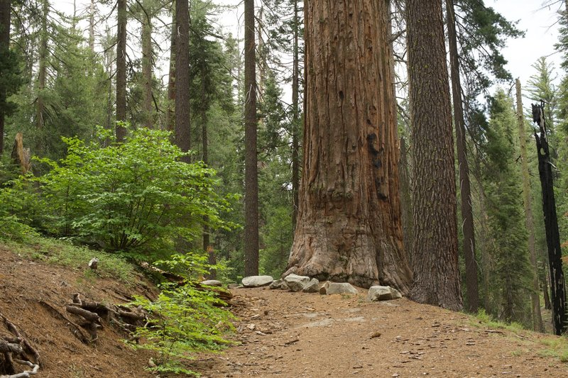 As you enter the Tuolumne Grove of Giant Sequoias, you encounter one of these giants.  This nice thing about this area is most people don't venture down here, so you can enjoy your time without being crowded by other visitors.