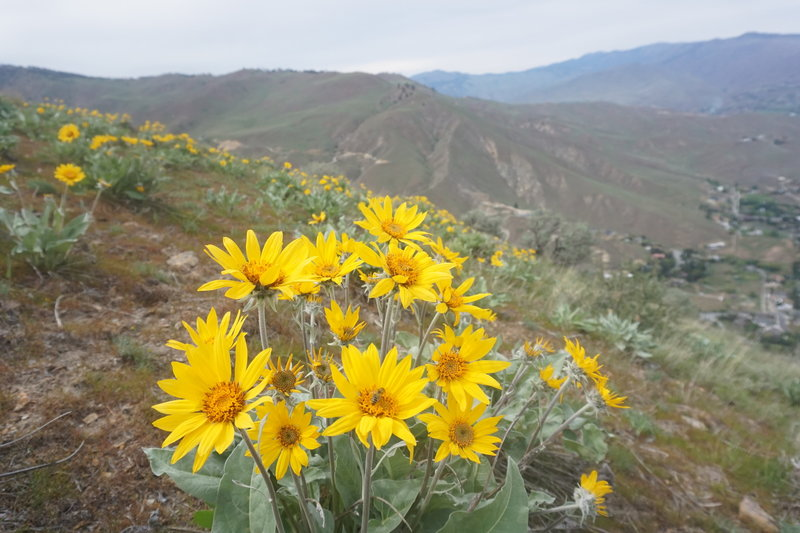 Nearing the end of balsamroot season, this past May.
