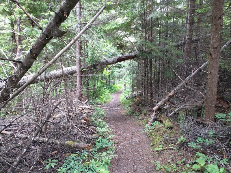 Hiking through thick forest near the start of the left fork of the Indian Cliffs trail.
