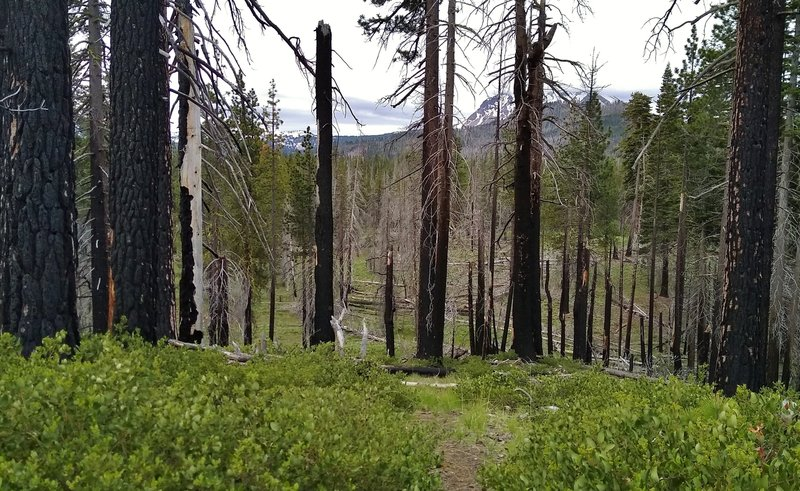 A burn area of the 2012 Reading Fire, with Horse Corral Trail traveling through. Lassen Peak can be seen in the distance through the burnt trunks.