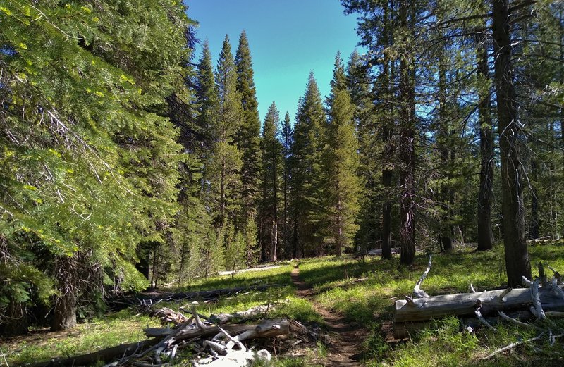 Butte Lake to Snag Lake Trail (East) runs through beautiful pine forest on a sunny June day.