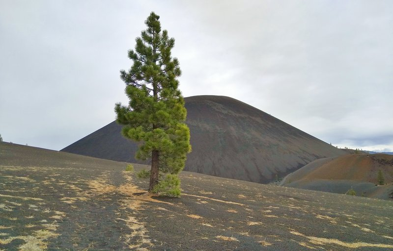 Approaching Cinder Cone from the south on Nobles Emigrant Trail (East), a hardy fir tree grows in the volcanic sand and ash. At the base of Cinder Cone on the right are some Painted Dunes.