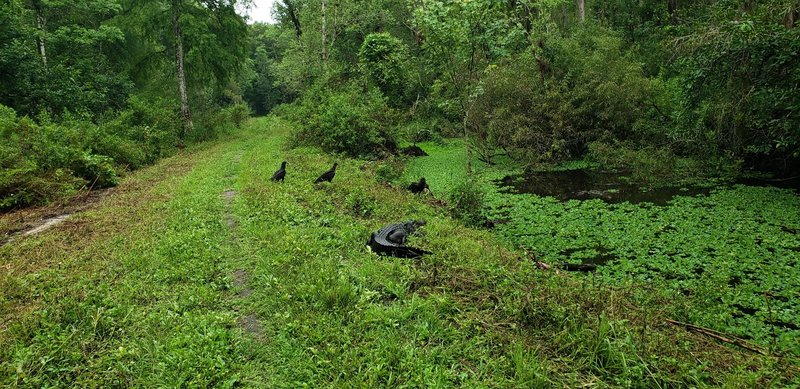 The alligators won't always get off the trail. The vultures are waiting around in case the encounter doesn't go well.