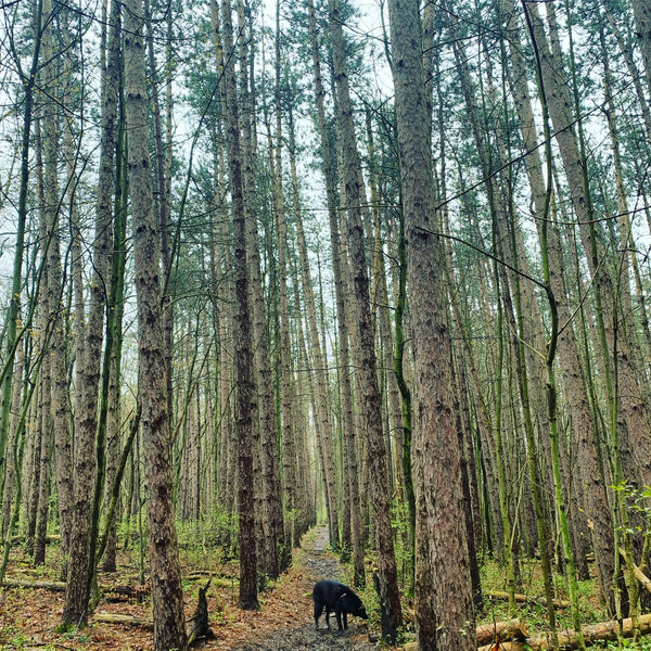 Imperious hemlocks of the Interlocken Trail, and an inquisitive dog.