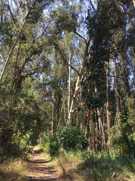 A grove of tall eucalyptus in the canyon