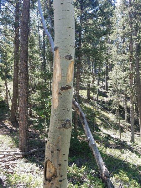 Fresh bear markings on the aspens.