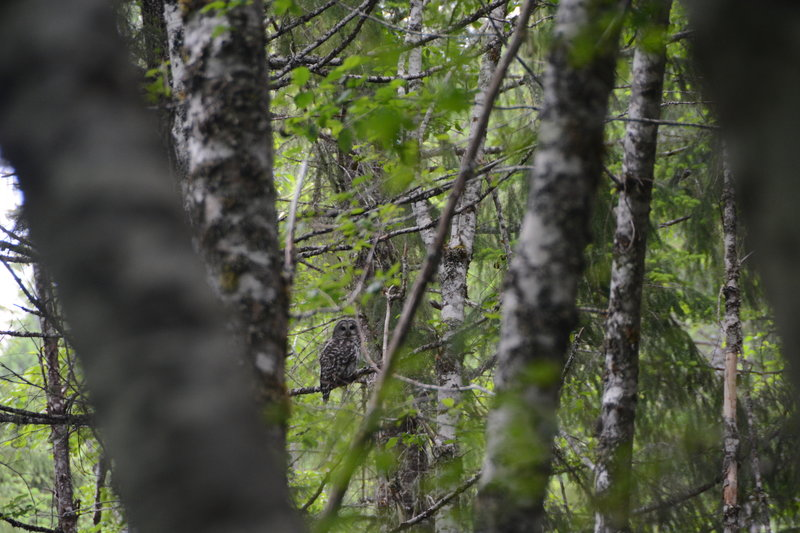 A spotted owl not far from the parking area.