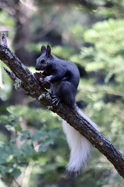 An Abert's squirrel munching on a pine cone.