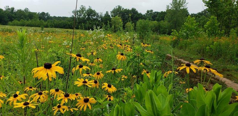 Wildflower prairie.