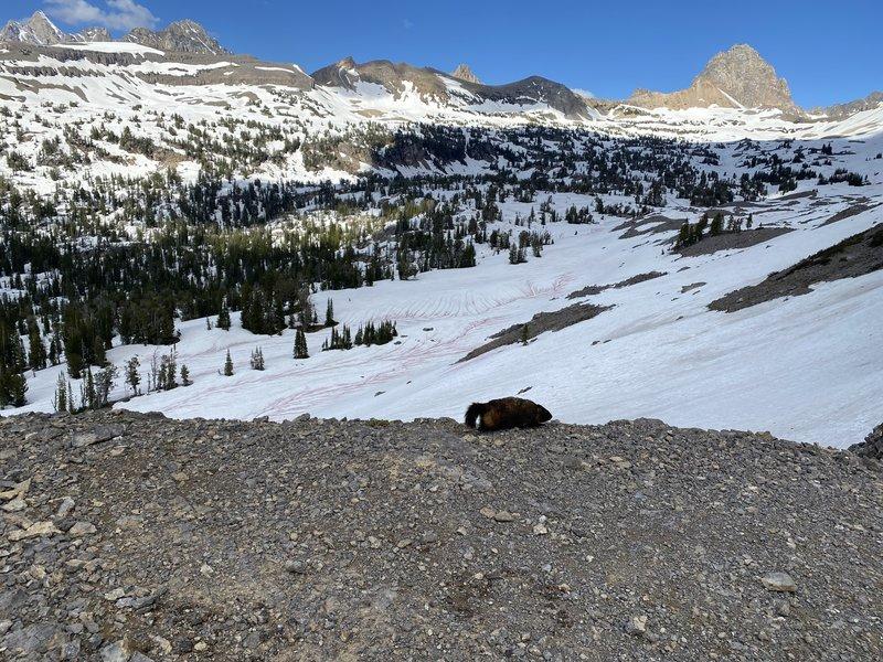 Marmot walking across the top of the Sheep Steps, looking into Alaska Basin. Buck Mountain in upper right corner. June 2020.