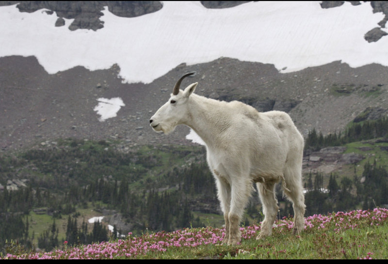 Mountain goat on the trail