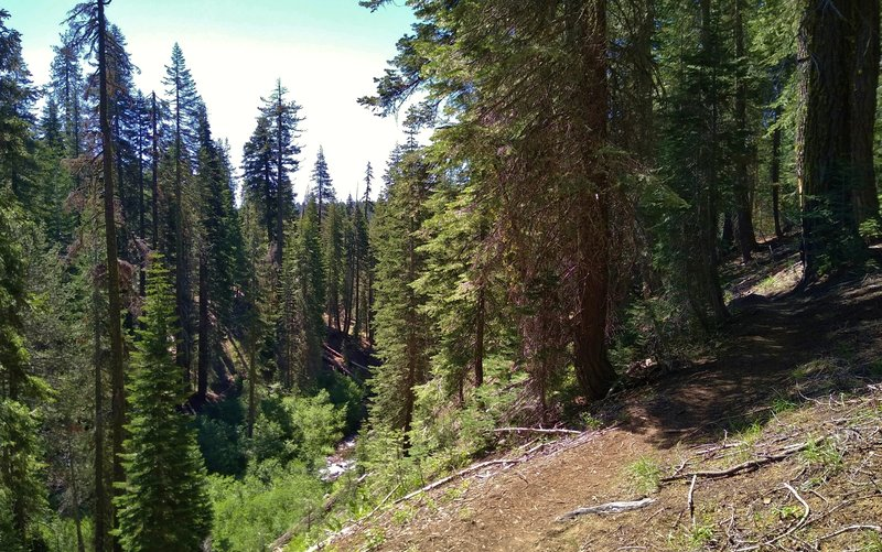 Kings Creek is in the valley to the left of Kings Creek Trail here in beautiful fir forest of the backcountry.
