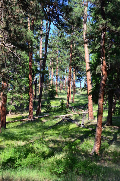 The bark on the Ponderosa Pine is especially pleasing in this grove.