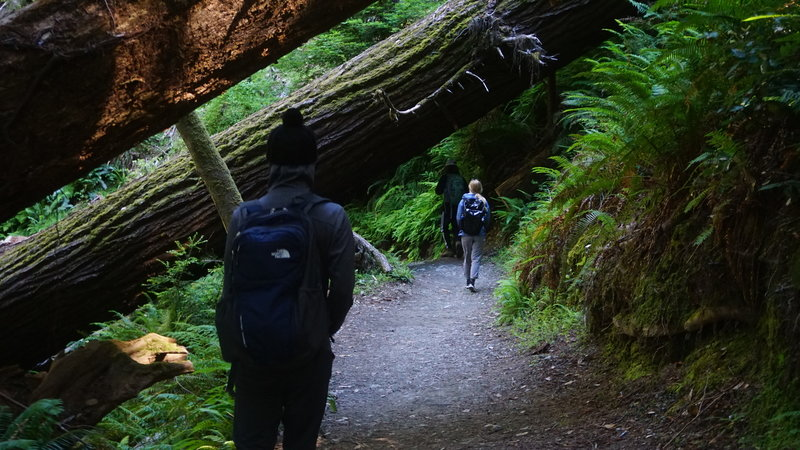 Hiking under fallen redwoods on the way down to Tall Trees Grove.
