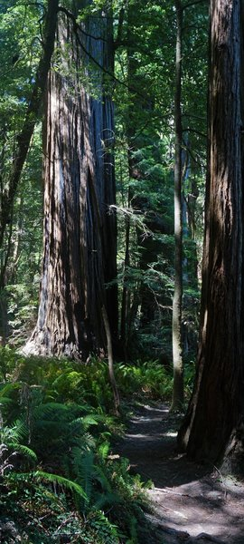 Redwoods along the Tall Trees Grove Trail.