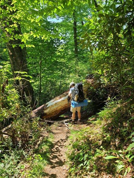 Huge tree blow-down on Deep Creek Trail.