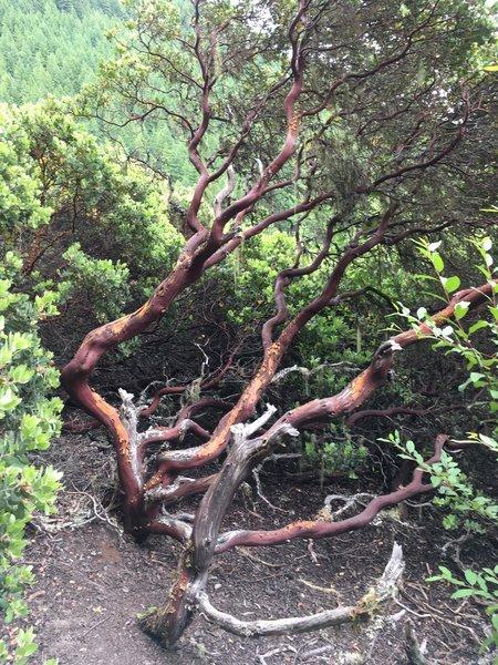 Craggly tree, bush?