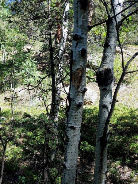 Fresh Bear Markings on the Aspens
