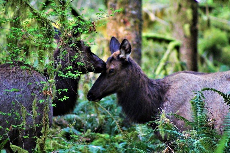 Elk along the Hoh River Trail