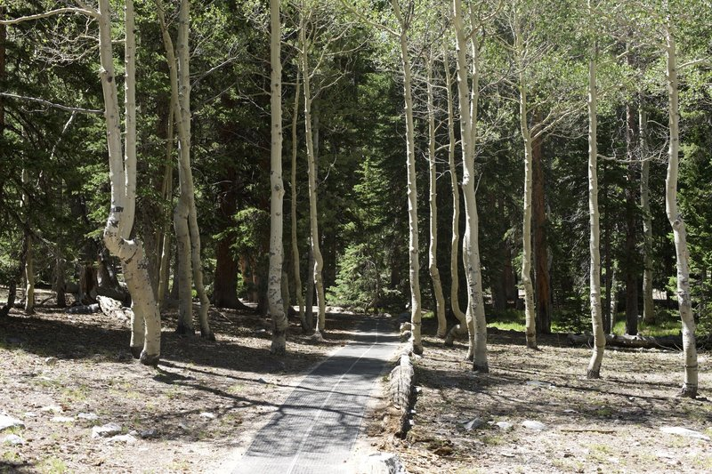 Instead of dirt trails, they have laid a mat like material on the trail to make it accessible for all to enjoy. Here the trail passes through some birch trees.
