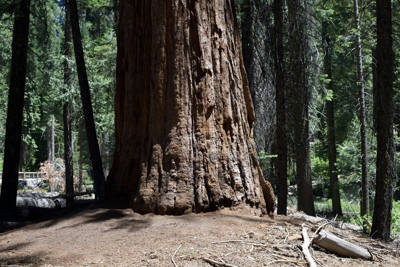 A Giant Sequoia tree sits off to the right hand side of the trail as it enters the Mariposa Grove of Giant Sequoias.