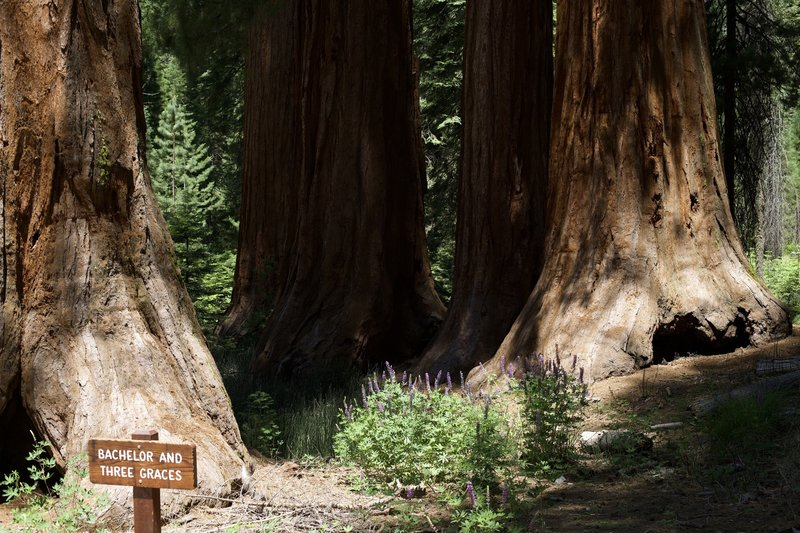 The Bachelor and the Three Graces sit just off the trail in the Mariposa Grove.