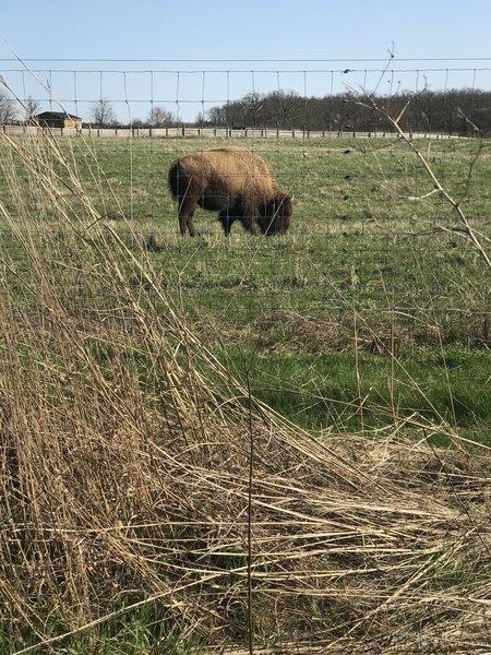 Bison at Battelle Darby Creek MP.