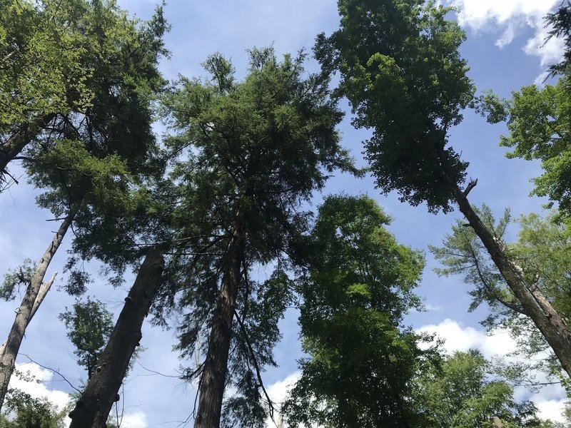 The treetops of ancient pines