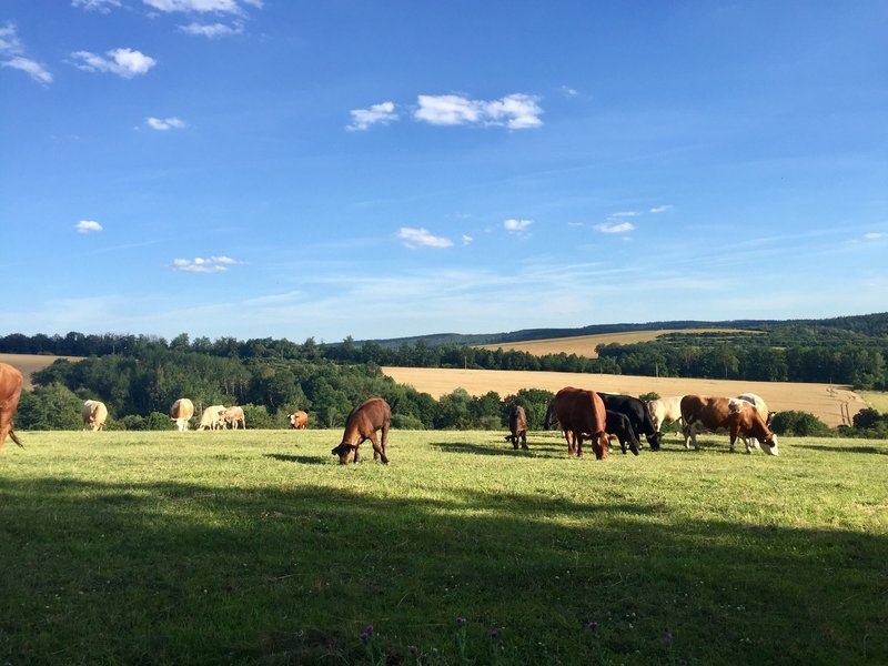 Grazing cows and calves