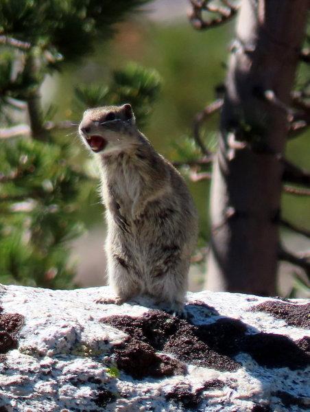 Belding's ground squirrel raising the alarm