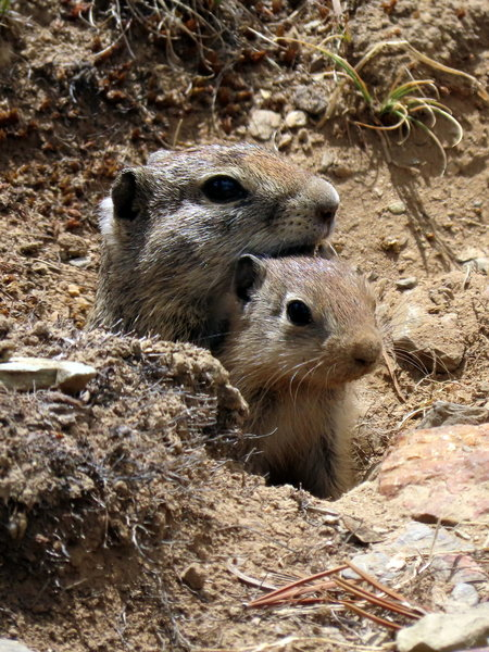 Belding's ground squirrel - mother and young