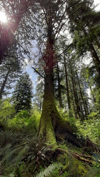 A massive Sitka spruce showing bright green in the sunlight in Anderson Hill County Park