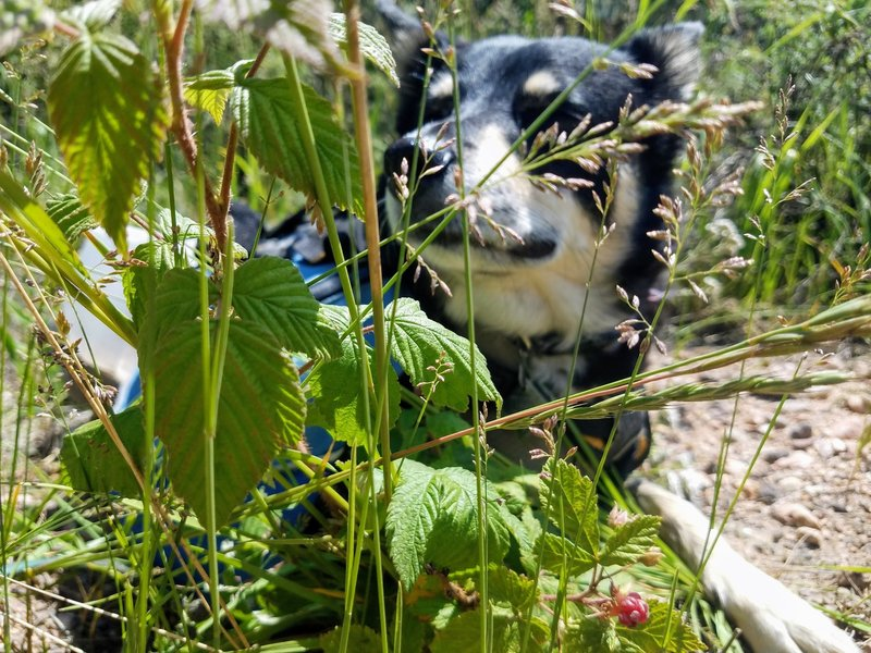 Wild Raspberries for foraging! Dog looking for shade!