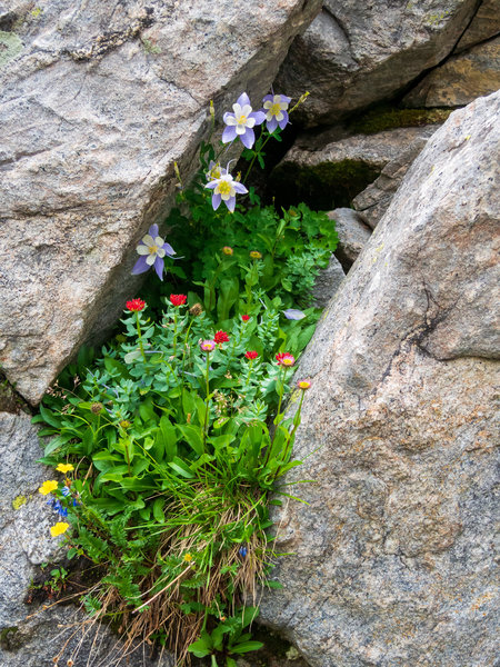 Columbine and other wild flowers.