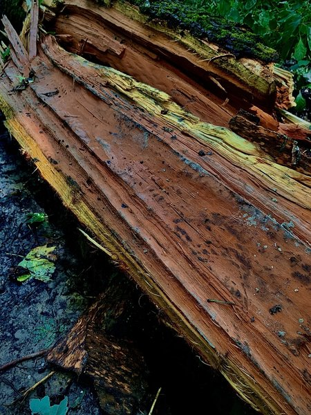 Fallen trees along the path can be cumbersome to get around, although some of them are quite beautiful like this one which has an orange interior.