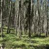 Aspen grove on the Quakey Mountain Trail