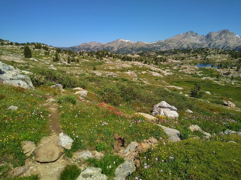 WIldflowers abound in Bald Mountain Basin in the summer. Looking north on the CDT/Fremont Trail, the two peaks of Mt. Lester are on the right.