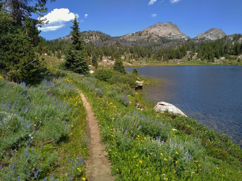 Flowers and more flowers - blue lupine and yellow arnica, at August Lake in early August along the CDT/Fremont Trail in the Wind River Mountains, so pretty...