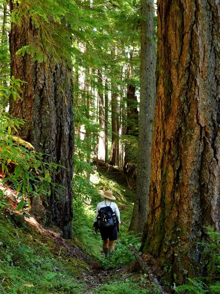 Passing between two 7+ feet in diameter old-growth trees