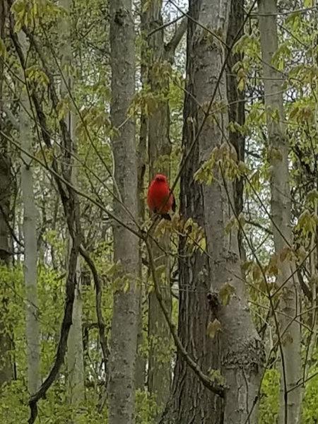 Scarlet Tanager, spring 2020